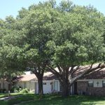 Live Oak Trees in Grapevine
