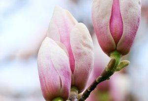 Magnolias in Grapevine