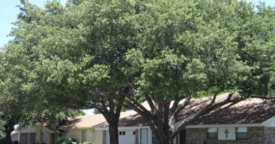 Live Oaks in Grapevine