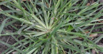 Goosegrass in Grapevine